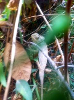 chameleon new year 1