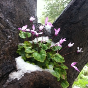cyclamen snow tree
