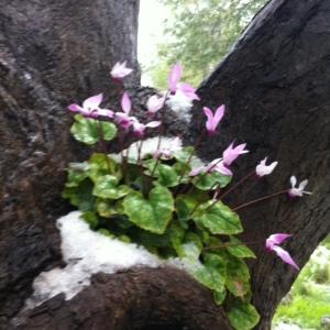 cyclamen snow tree