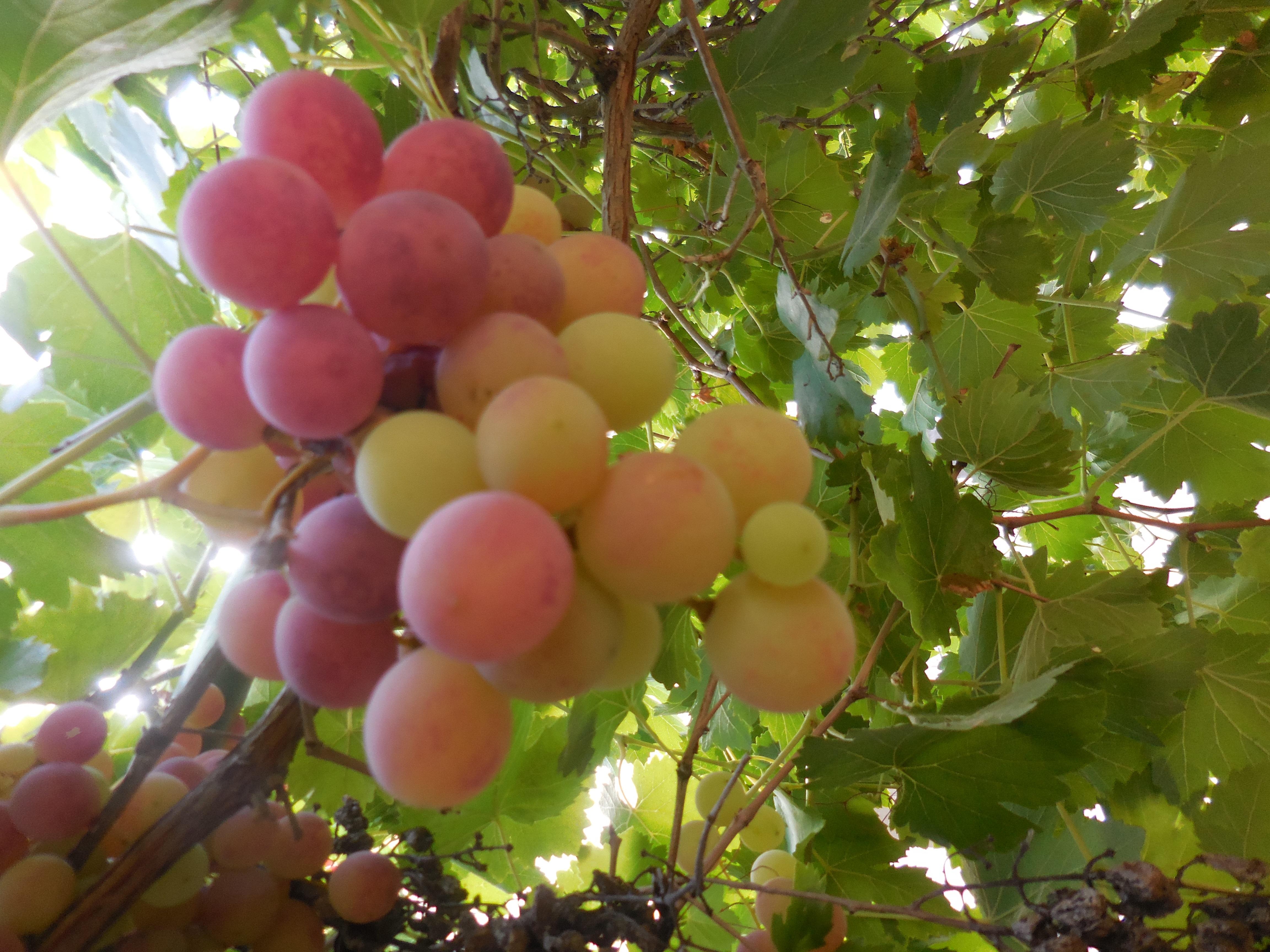 grapes 2 2017
