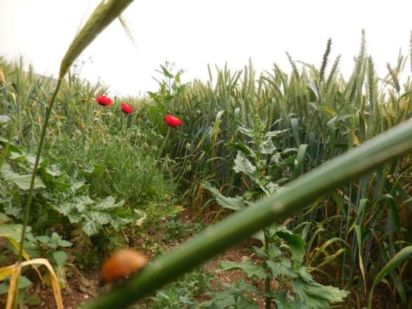 ladybird in field