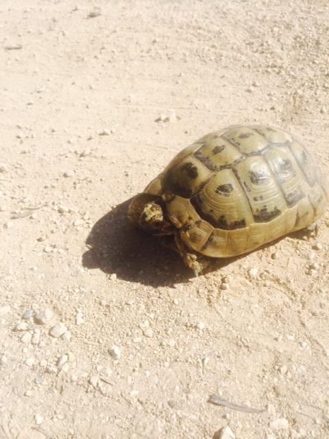 tortoise-1